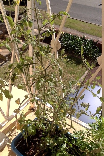 Healthy tomato plant bearing good fruits