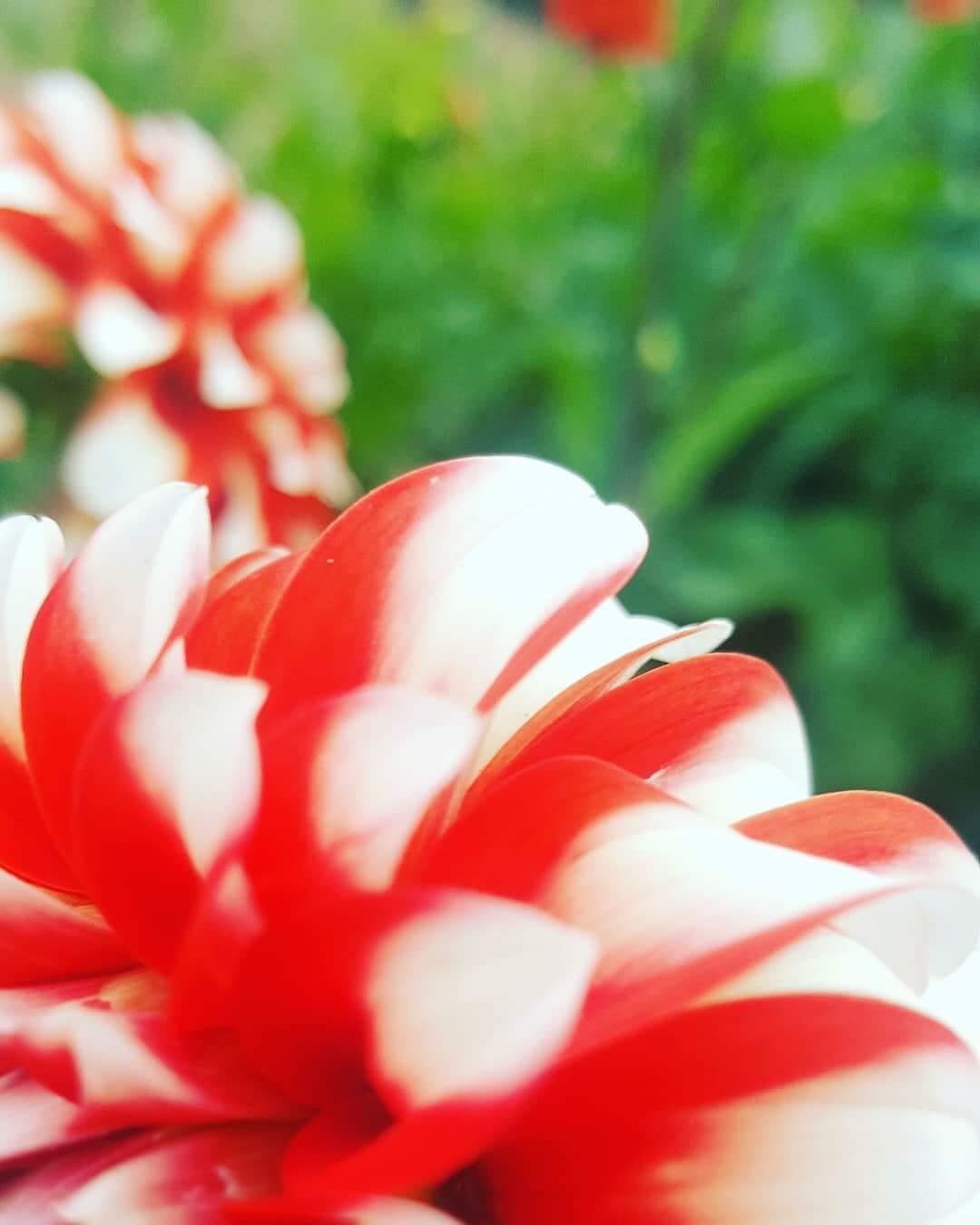 Red & White Dahlia Flower